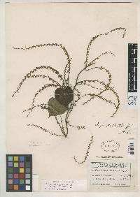Dioscorea cymosula image