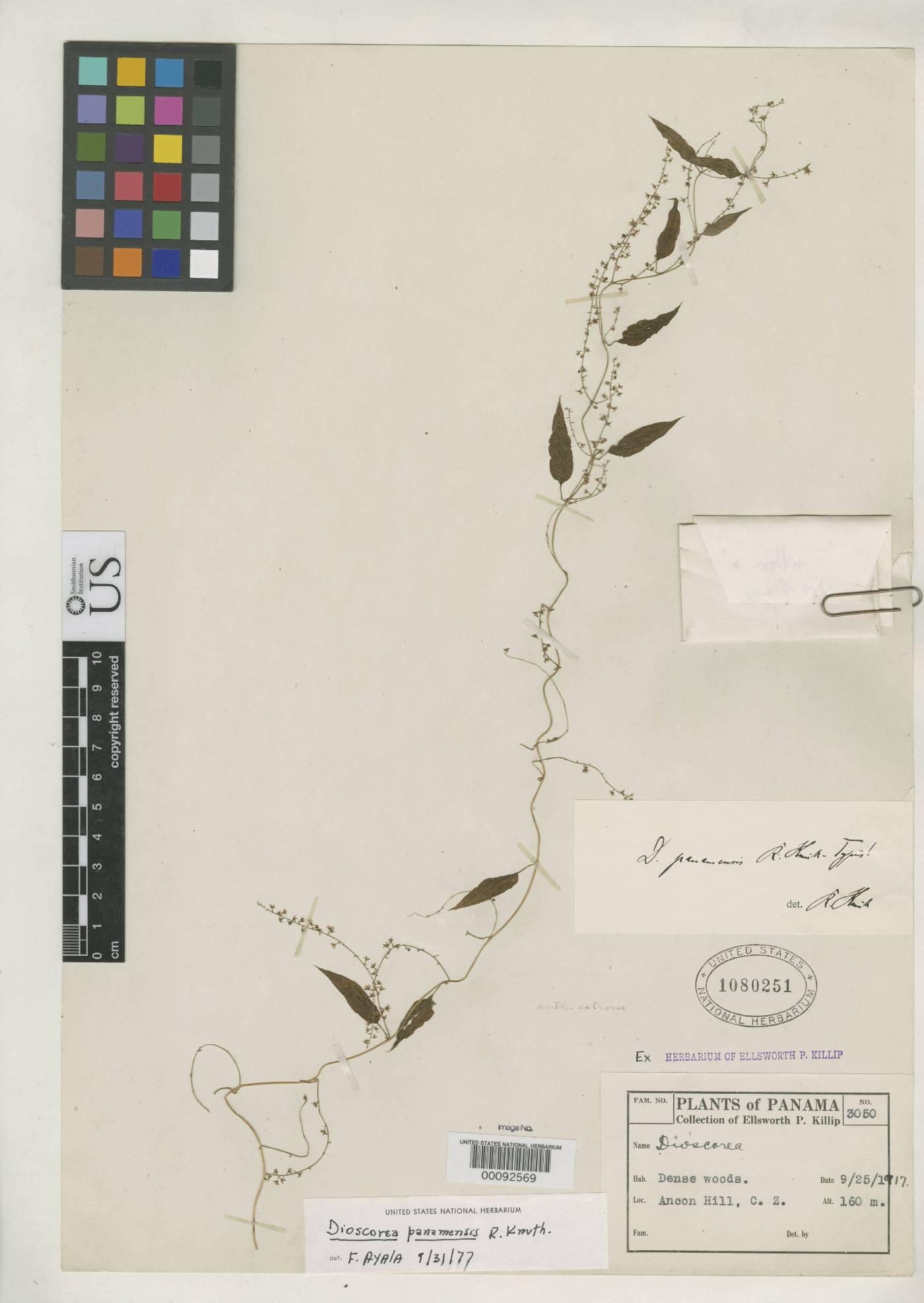 Dioscorea panamensis image