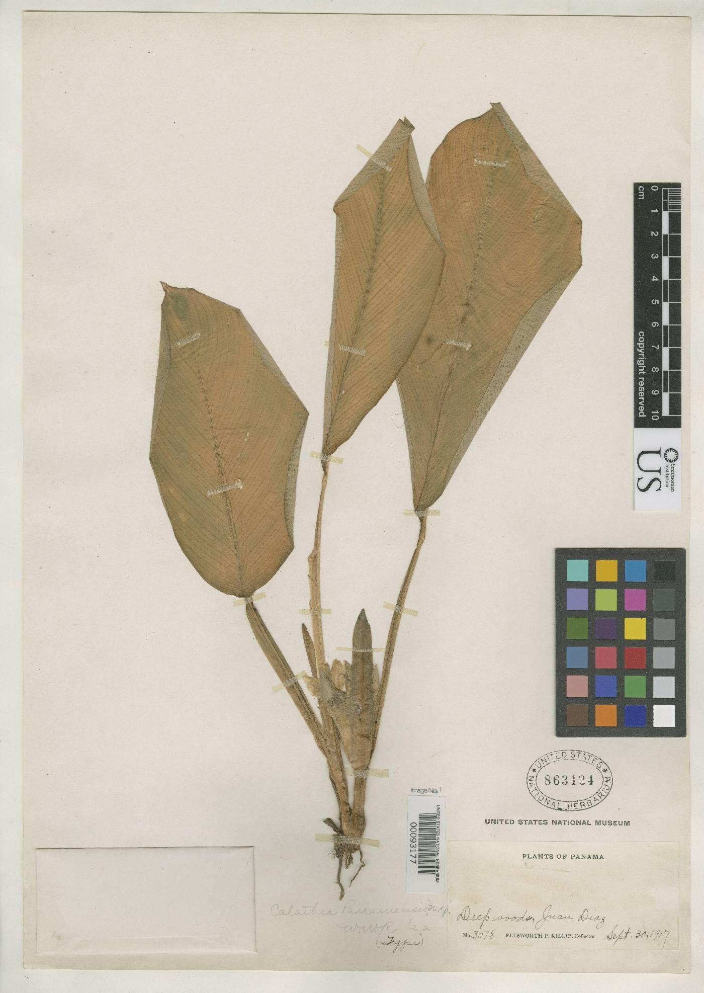 Calathea panamensis image