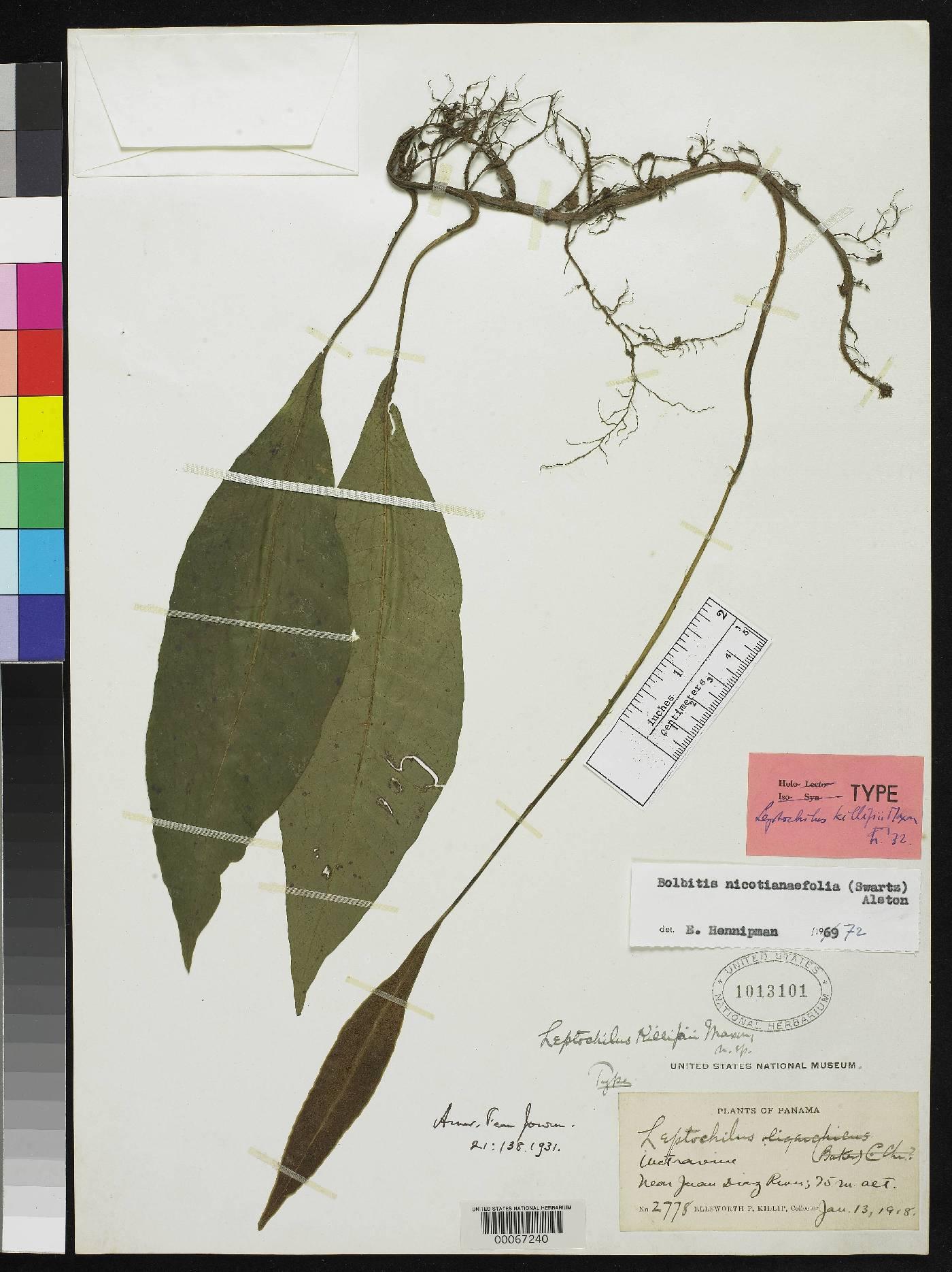 Leptochilus killipii image