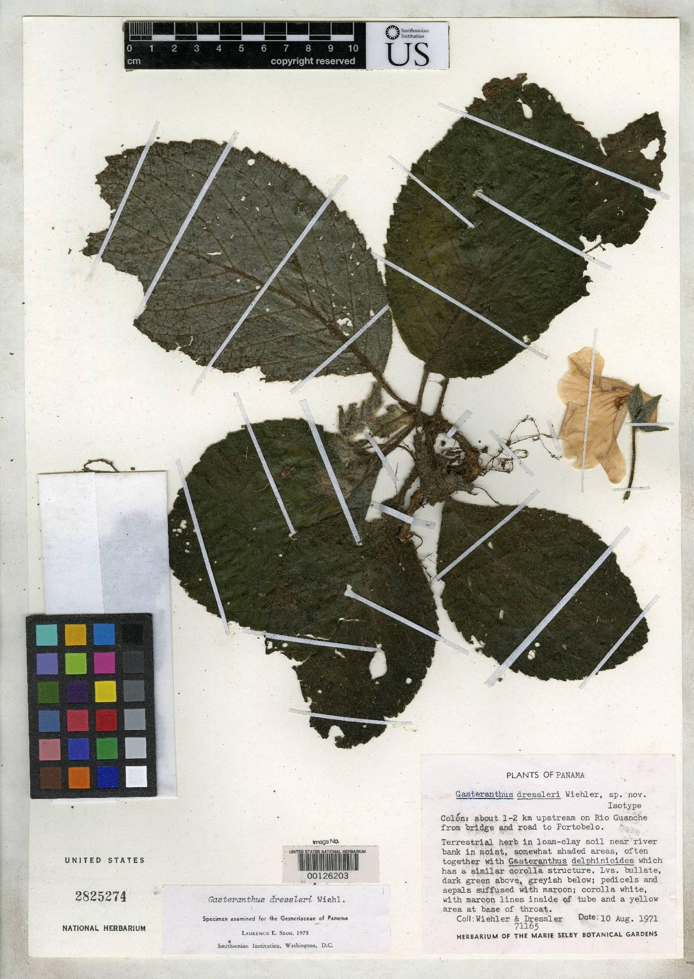 Gasteranthus dressleri image