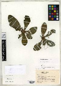 Napeanthus apodemus image