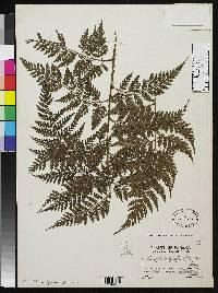 Lastreopsis killipii image