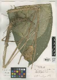 Calathea silvicola image