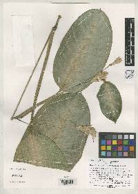 Calathea portobelensis image