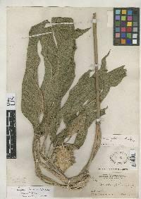Image of Calathea foliosa