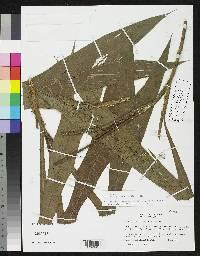 Geonoma epetiolata image