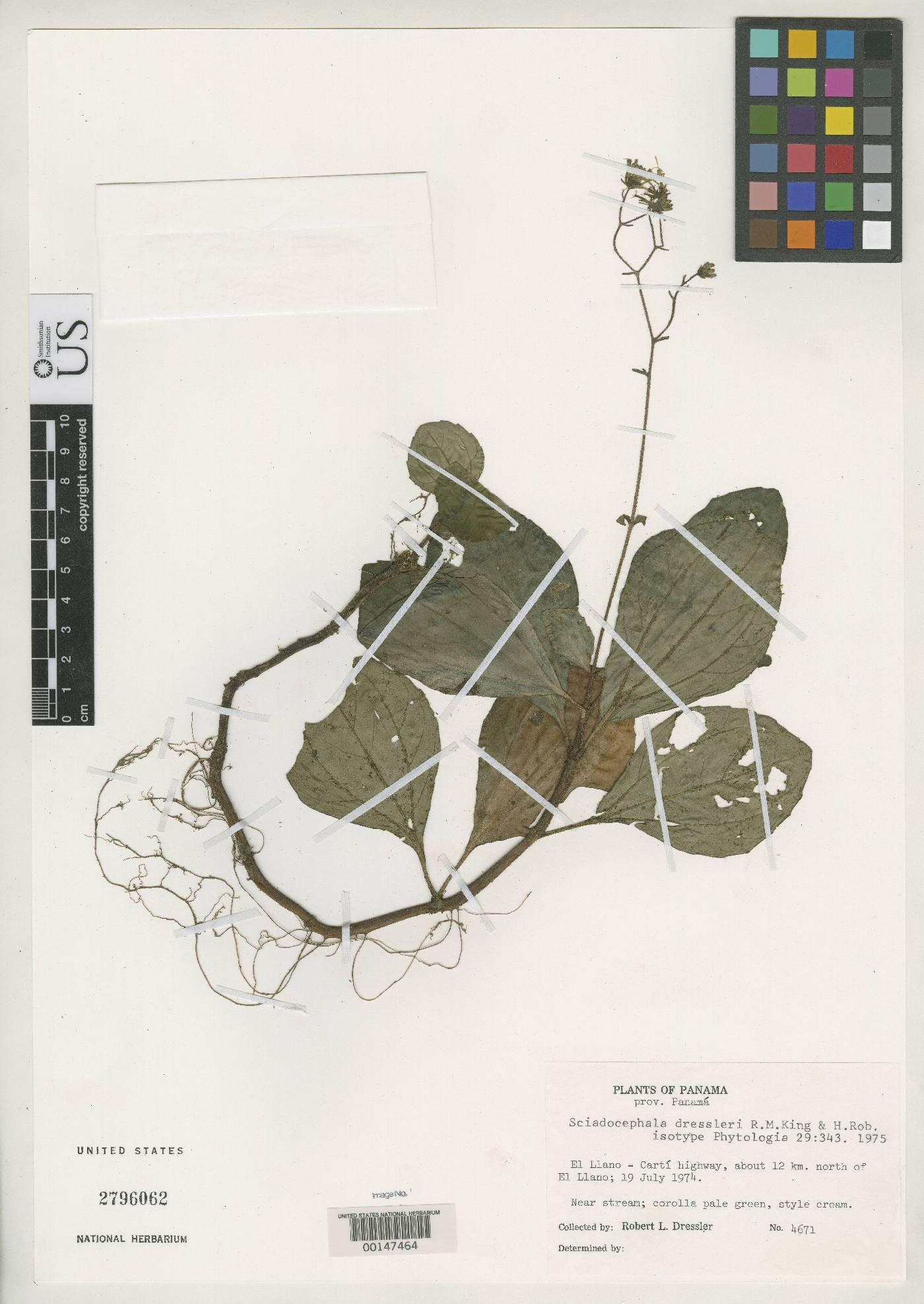 Sciadocephala dressleri image