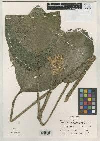Calathea plicata image