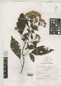 Image of Fleischmannia allenii