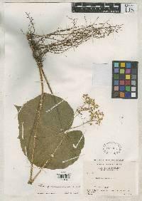 Begonia quaternata image