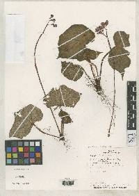 Image of Begonia morii
