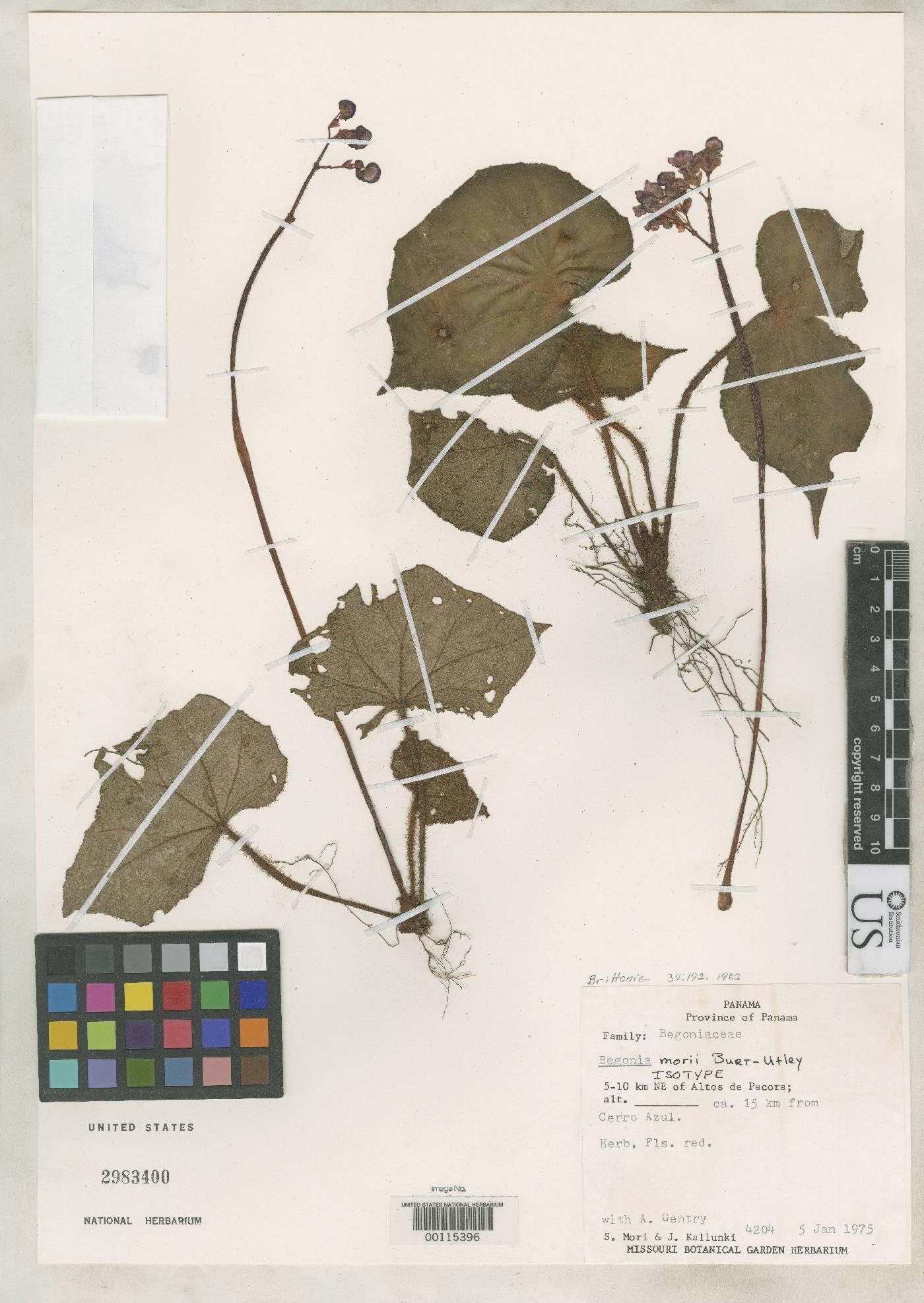 Begonia morii image