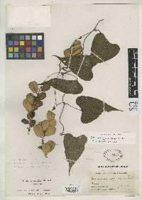 Dioscorea mexicana image