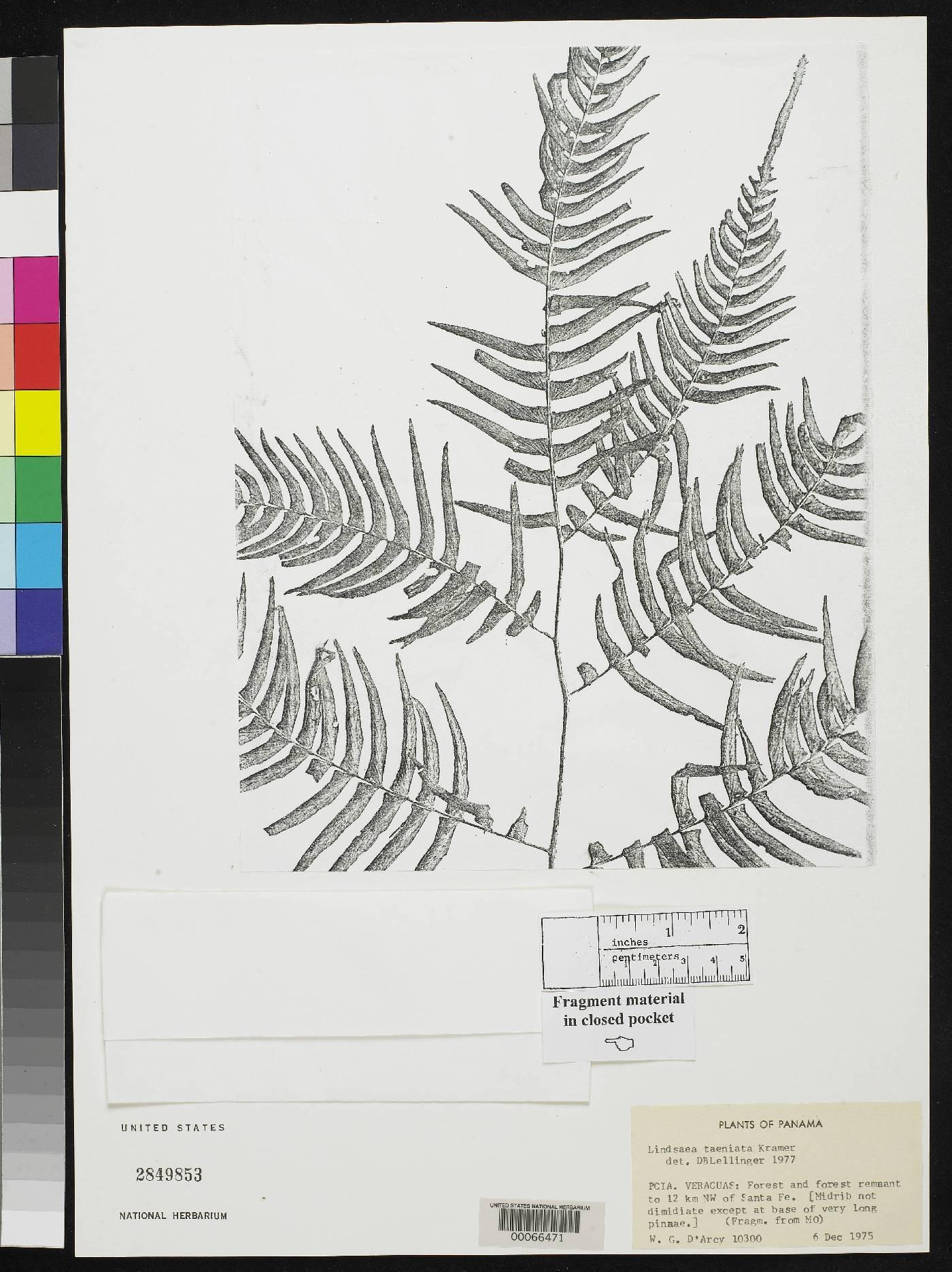 Lindsaea venustissima image