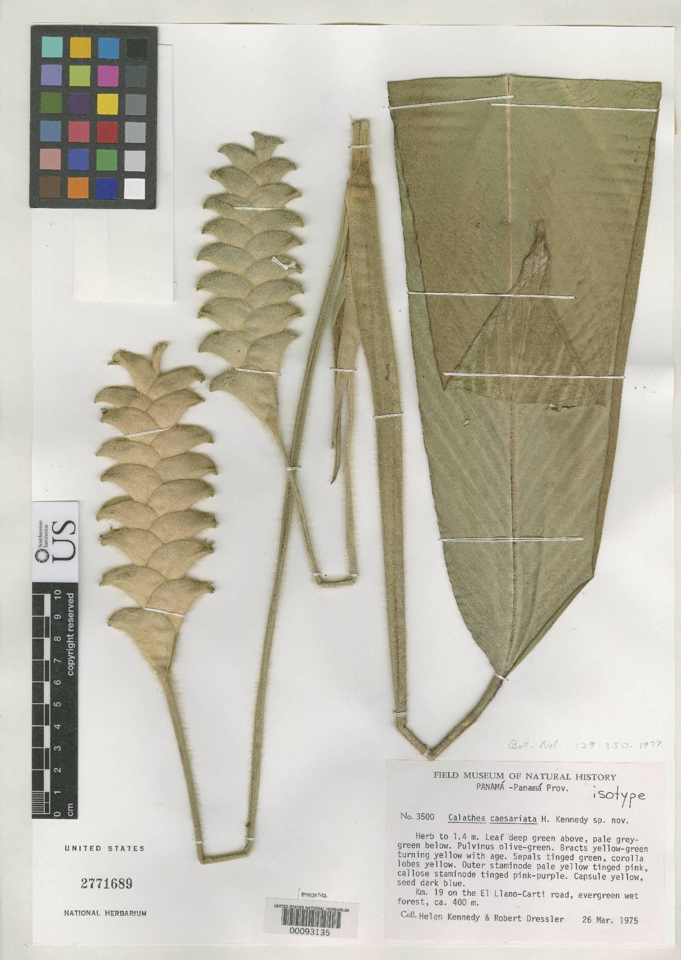 Calathea caesariata image