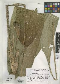 Image of Calathea cuneata