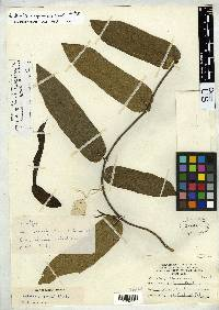 Aristolochia chapmaniana image