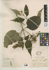 Clibadium sylvestre image