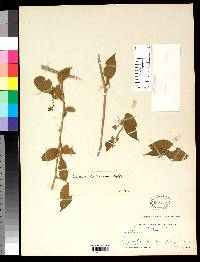 Solanum extensum image