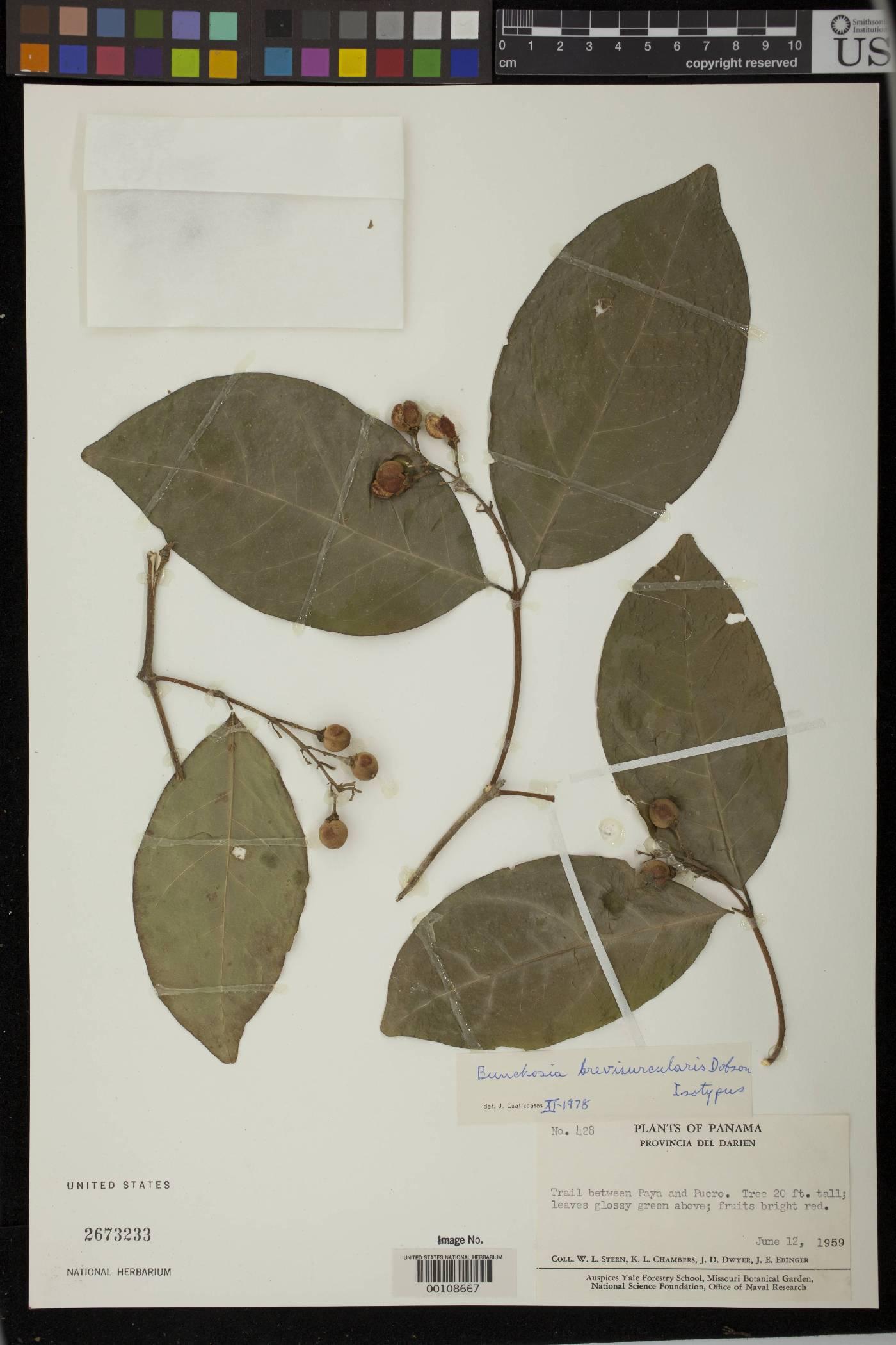 Bunchosia brevisurcularis image