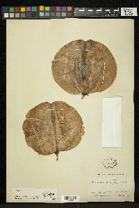Cavanillesia platanifolia image