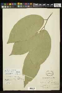 Quararibea pterocalyx image