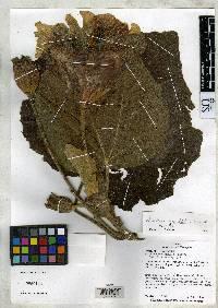 Wercklea grandiflora image