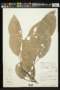 Quararibea stenophylla image