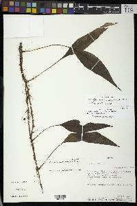 Elaphoglossum teleglottis image