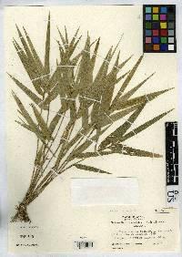 Arberella lancifolia image