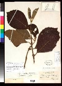 Siparuna pauciflora image