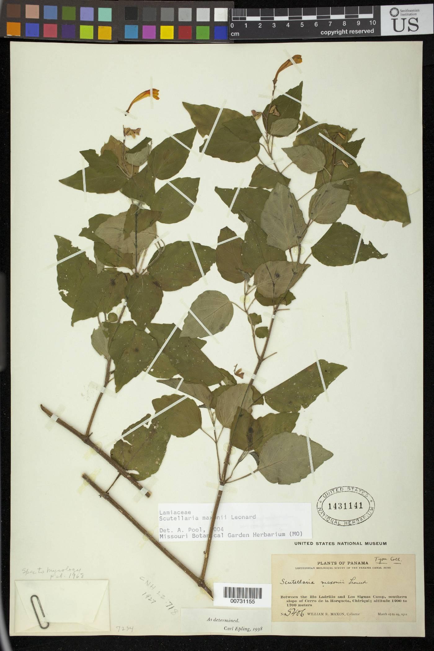 Scutellaria maxonii image