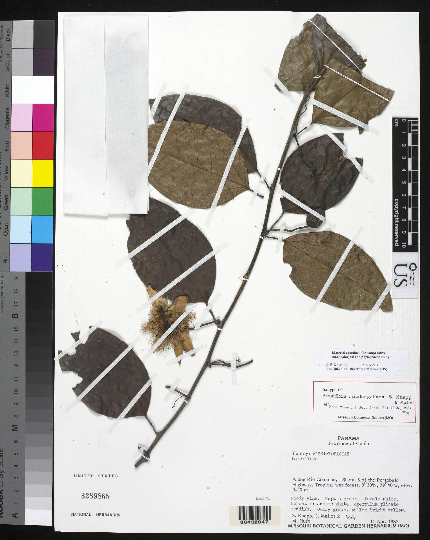 Passiflora macdougaliana image