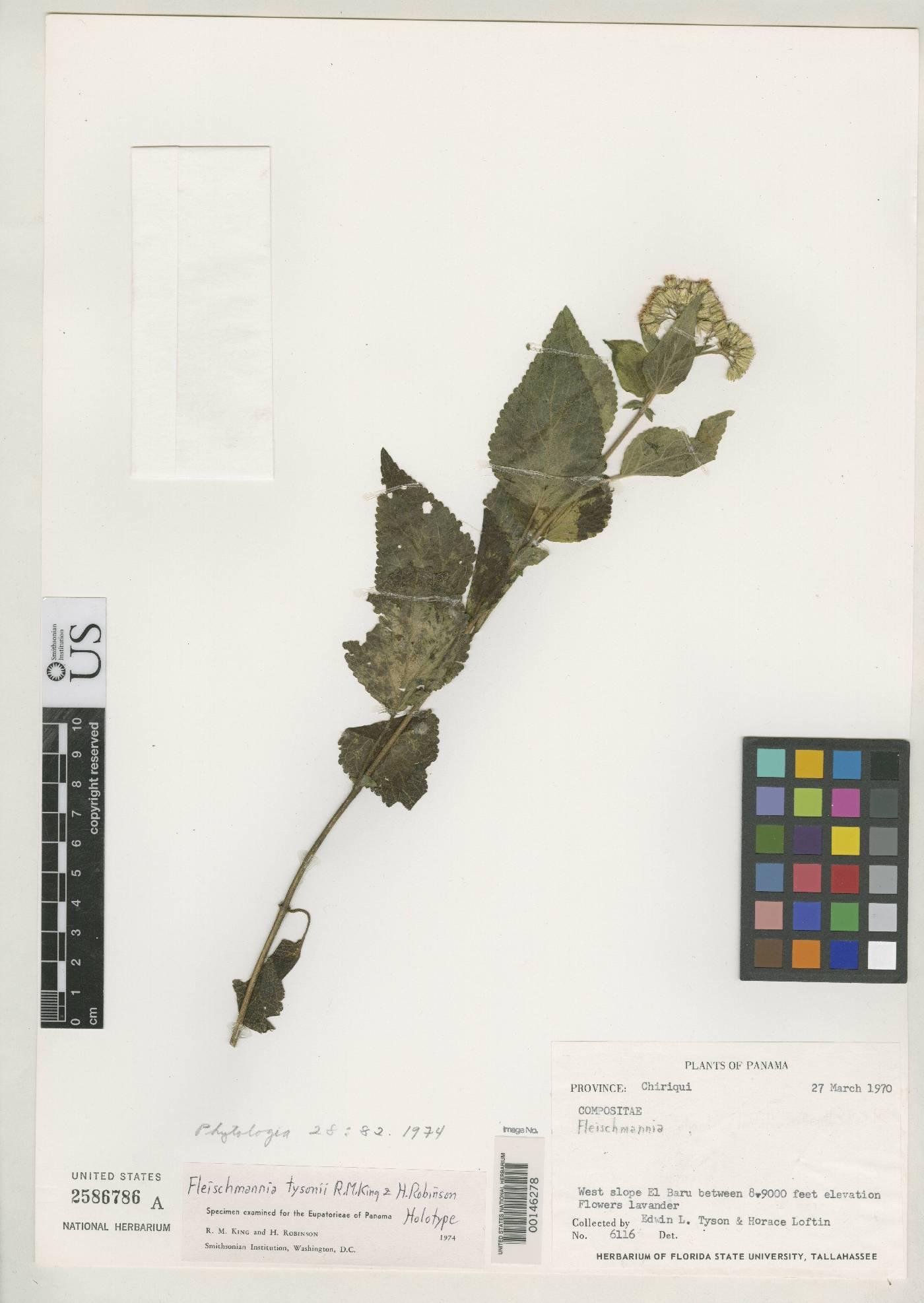 Fleischmannia tysonii image