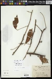 Pachira quinata image