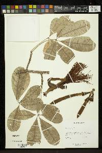 Pachira aquatica image