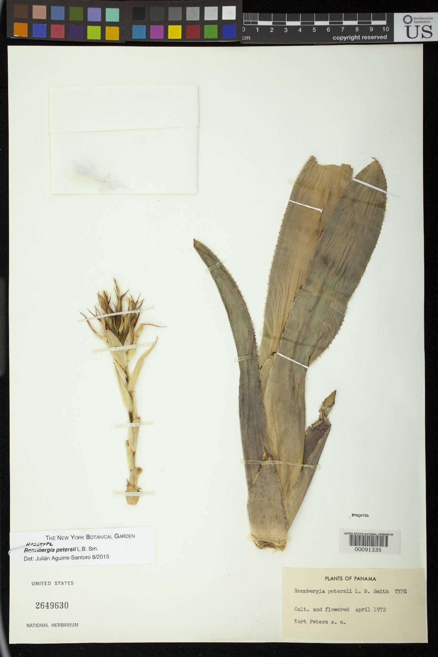 Ronnbergia petersii image