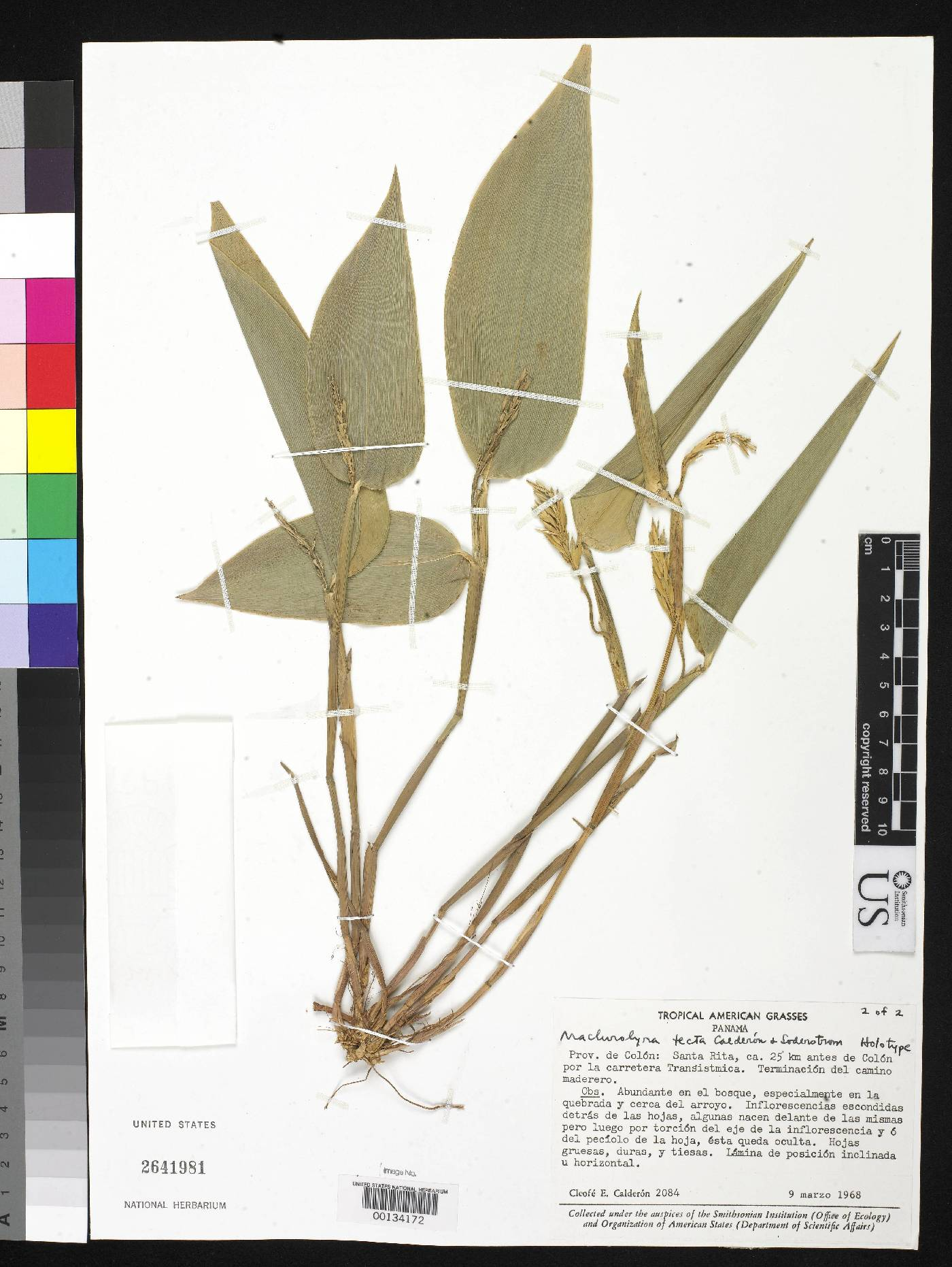 Maclurolyra tecta image