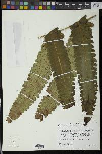 Image of Cnemidaria cocleana