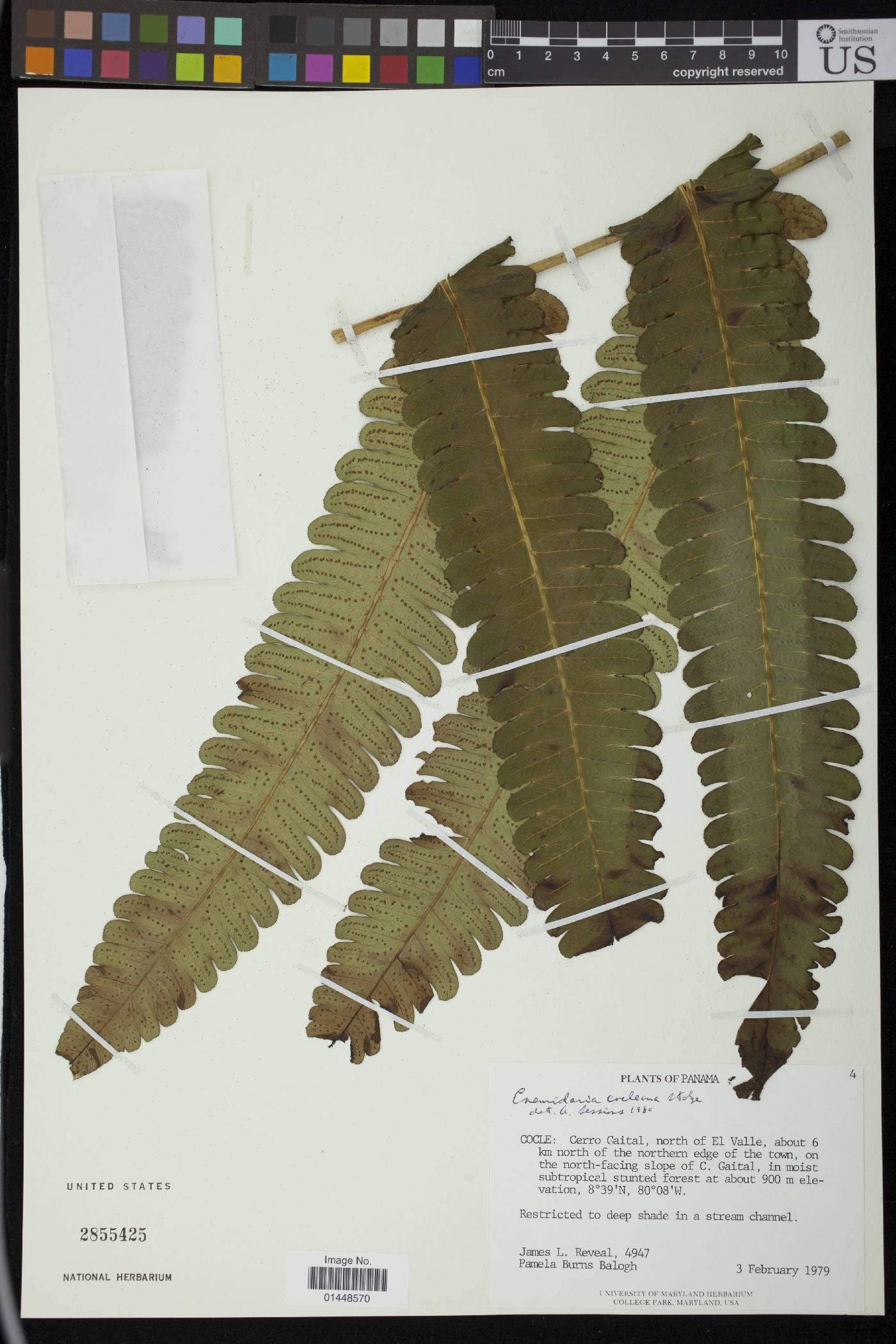 Cnemidaria cocleana image