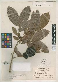 Inga densiflora image