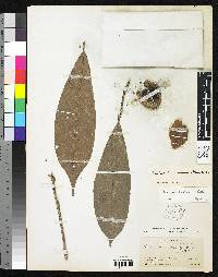 Pouteria sambuensis image