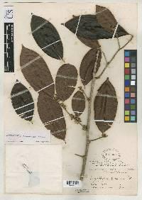 Chrysophyllum panamense image