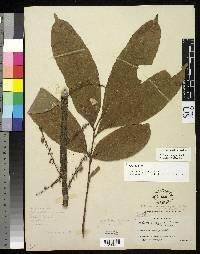 Talisia hexaphylla image