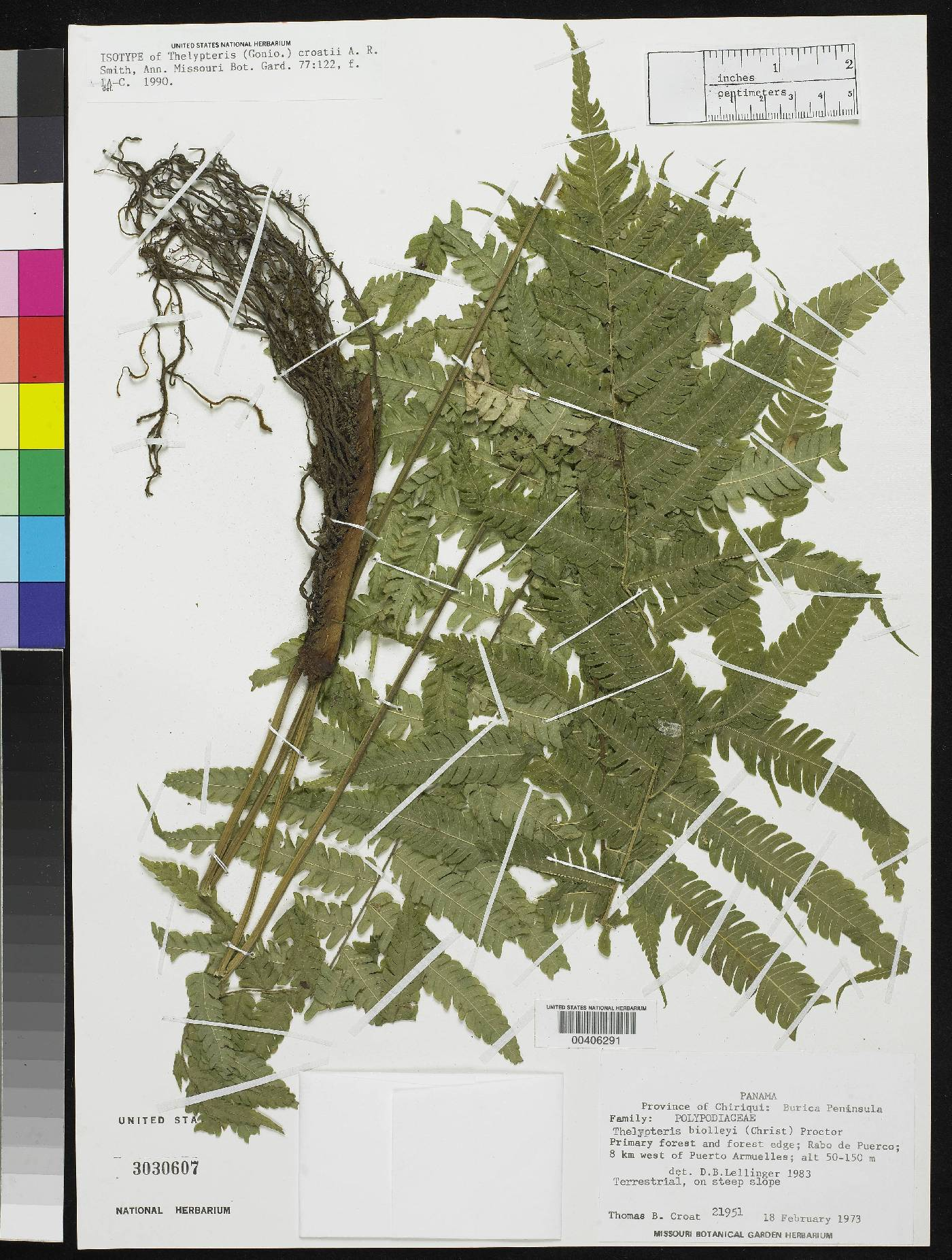 Thelypteris croatii image
