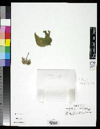 Fleischmannia panamensis image