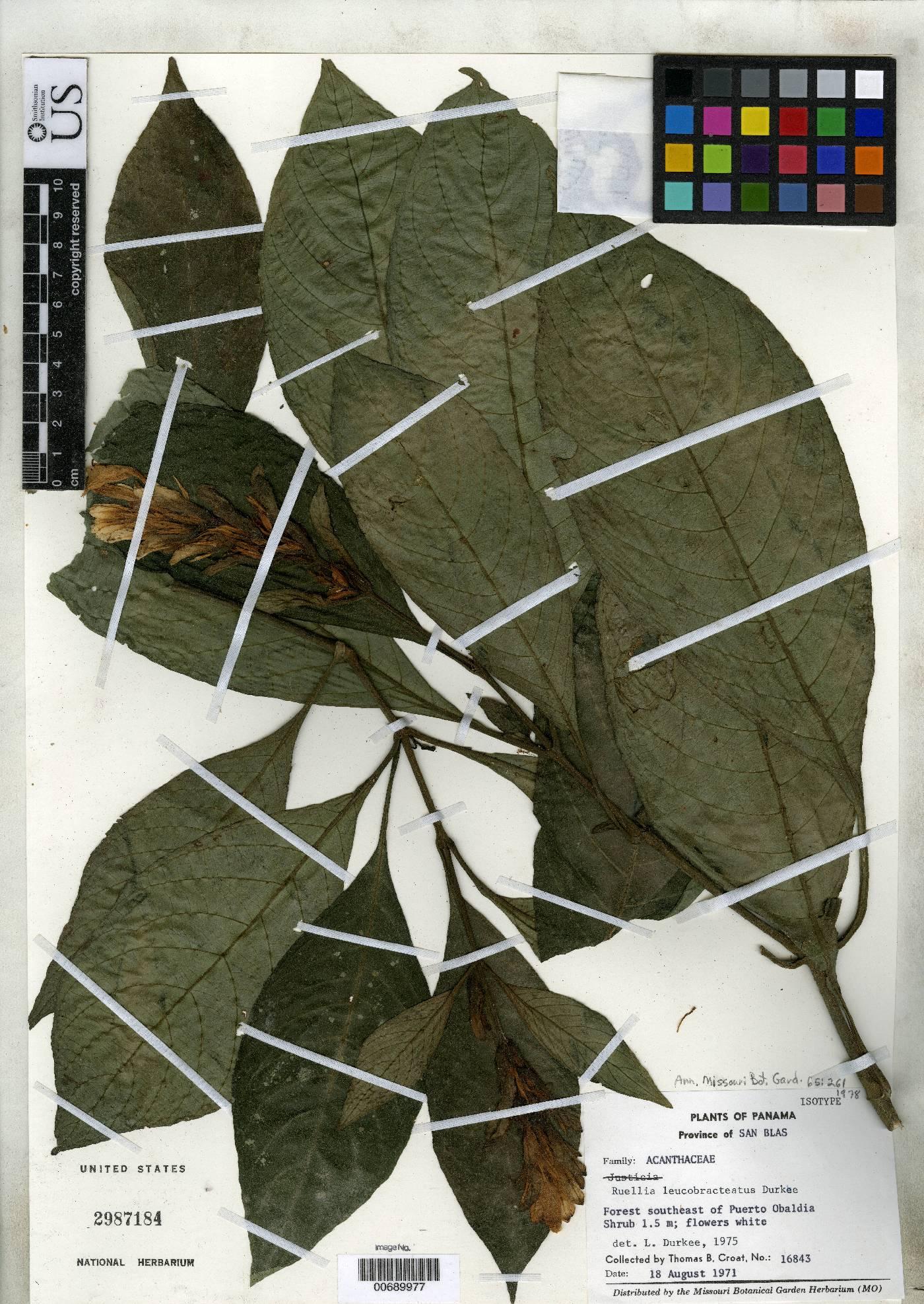 Ruellia leucobracteatus image