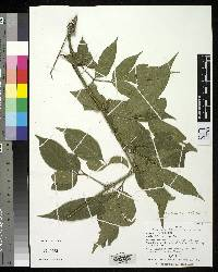 Image of Paullinia buricana