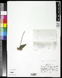 Fleischmannia croatii image
